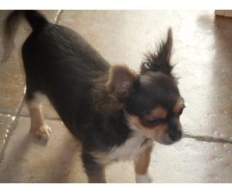 Chihuahua poils long 1