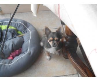 Chihuahua poils long 2
