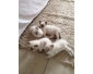 Trois chatons ragdoll disponibles