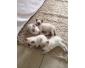 Trois chatons ragdoll disponibles