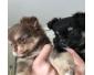 Deux chihuahua mini poils longs à donner