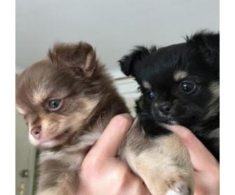 Deux chihuahua mini poils longs à donner 1