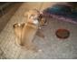 Adorables Chiots Chihuahua Dora & Diva