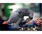 Couple perroquets Gris du Gabon de 2ans+sa cage et jouet