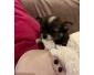 Adorables bébés Spitz/Chihuahua