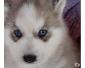 A donner mimi petite bb husky siberien femelle