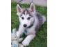 Bonjour a donner husky siberie pour adoption