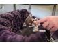 Magnifique chiot Chihuahua femelle de 3 mois (DON)