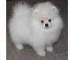 A reserver  Chiot spitz nain blanc non lof