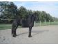 Don cheval Hongre