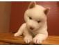Adorables chiots husky de sibérie lof