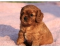 Adorable Chiots Cavalier King