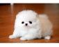 Adorable chiot Spitz Nain blanc à donner
