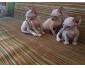 2 Sphynx Cats disponibles à la vente