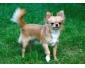 Chiot Chihuahua femelle importée disponible