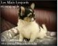 Chiots Chihuahua à vendre (éleveur familial agréé)