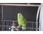 Perroquet amazon à vendre