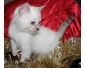 Donne Jolie chaton bengal  femelle