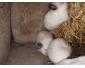 Occasion, Jeunes lapins californien d'occasion  Annonce Achat - Vente animaux - publiée le 23-03-2018 à Bruyelle