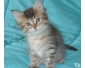 A donner Chaton Maine Coon femelle