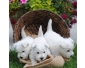 Chiots West Highland Terrier disponibles