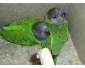 Bébés perroquets youyou et grand alexandre