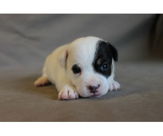 BB Chiot Jack Russell 1