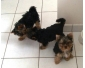 Chiots Yorkshire Terrier à adopter