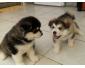 Superbes chiots Husky sibérien