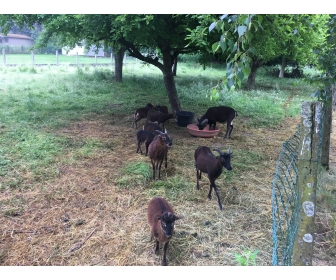 A vendre moutons de Soay, à Grez-Doiceau, Prix à discuter 1