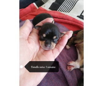 Belle portée de Chihuahua 3