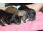 3 chiots Chihuahua femelles à vendre