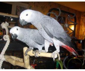 Couple de perroquet Type Gris du Gabon a donner 1