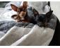 Vente chihuahua à Seraing