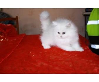 Donne Chaton type persan chinchilla Femelle 1
