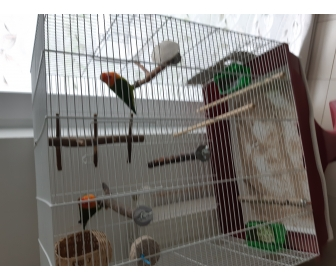Couple oiseaux inséparable à Jumet 1