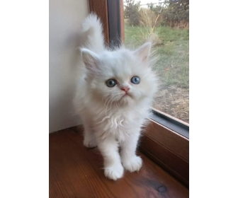 Chatons persan Loof pour compagnie 1