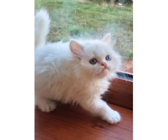 Chatons persan Loof pour compagnie 2