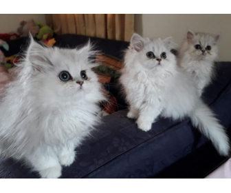 Chatons persan Loof pour compagnie 3