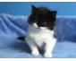 Trois chatons maine coon à vendre