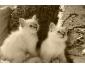 Deux chatons blanc avec carnet de bon sante