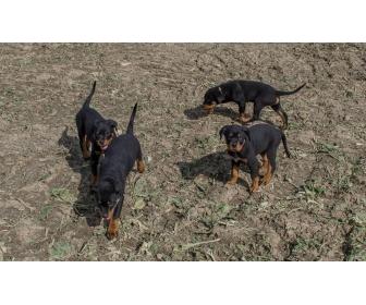 Chiots Rottweiler parents multichampions 1