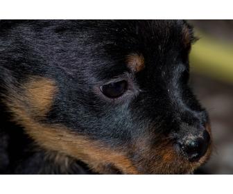 Chiots Rottweiler parents multichampions 2