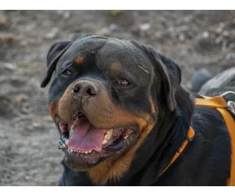 Chiots Rottweiler parents multichampions 4