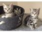Trois adorables chatons british shorthair à vendre