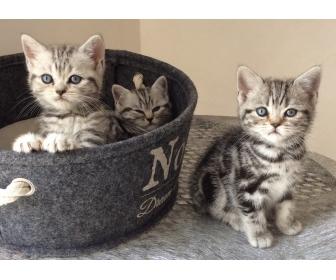 Trois adorables chatons british shorthair à vendre 1