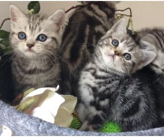 Trois adorables chatons british shorthair à vendre 2