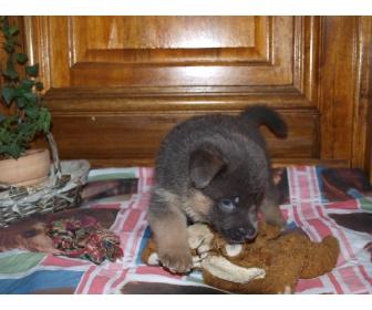 Belle chiot femelle berger allemand a donner 1