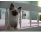 A céder petite femelle chaton sacré de Birmanie
